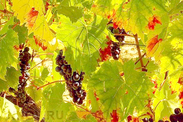 Массандра создаст в Крыму винные деревни