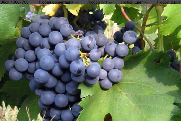 Отличным средством от ожирения учёные назвали напиток из чёрного винограда
